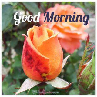 Good morning with a rose